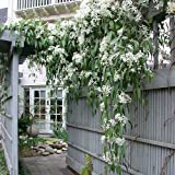 3 clematide armandii | acquista 3 / paga 2 (3 piante sempreverdi - bianco) - vaso 1,5 litro (pianta rampicante - clematis - pianta adulta) - muri, pergola, balconi e terrazze | clematisonline
