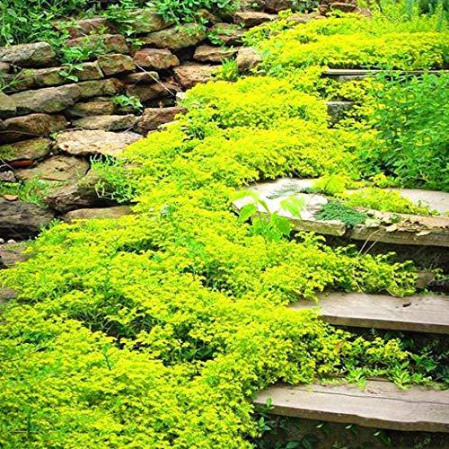 Cioler 100 Stück Felsenkresse Kletterpflanze Samen Blumensamen Alpen-Gänsekresse Bodendeckende Polsterstauden-Kollektion winterhart Zierpflanzen