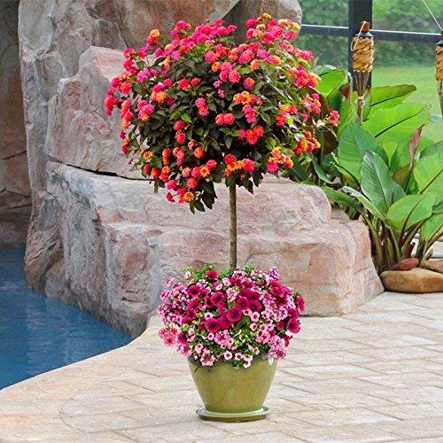 Neue Ankunft !!! 100 PC/Los Wandelröschen Blumensamen, seltene Staude Herrliche Bonsai-Baum-Anlage für Hausgarten-Topf Samen 4
