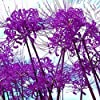 パープルリコリス球根高品質カラフル希少種DIY植物植物盆栽耐性,2球根