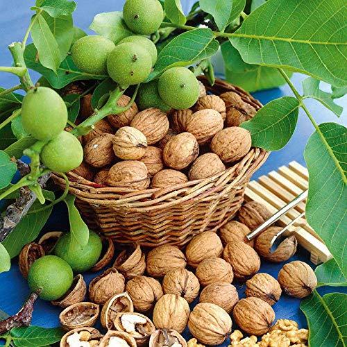 Portal Cool 1Pcs Grüne Walnuss-Baum-Samen Riesen Obst Blumen Bonsai Topfpflanzen Dekor Garten