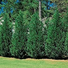 (3 gallon) Green Giant Thuja- Nature's Privacy Fence, Green, Tall and Beautiful Hedge