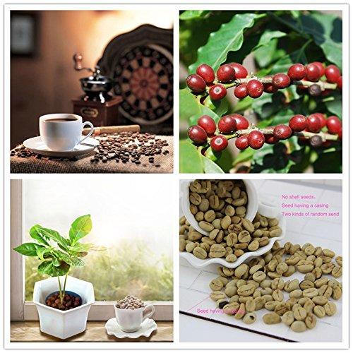 SANHOC EIN Stück 20 Stück Kaffeebohne Balkon Bonsai-Baum Gemüse Pflanze Kaffeekirsche Für Hausgarten Zwei Arten