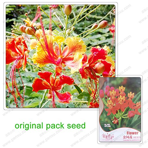 35 graines/Pack, graines Tara poinsettias, graines de fleurs balcon variété en pot blonde belle hématoxyline