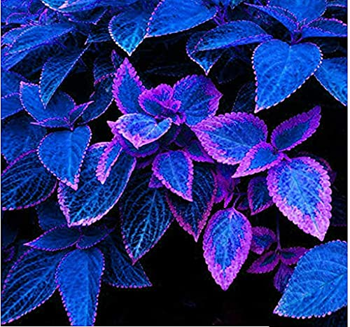 Genipap 30 semillas de plantas japonesas Bonsai Coleus