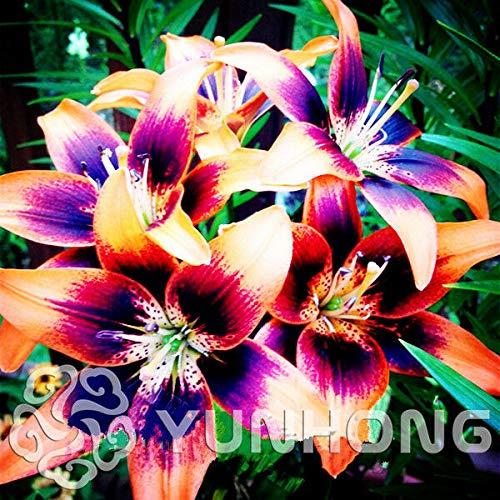 PLAT FIRM GRAINES DE GERMINATION: 20: True Lily Seeds Lily Flower Fleur Lilium Graines Léger Parfum Bonsai Pot Plante