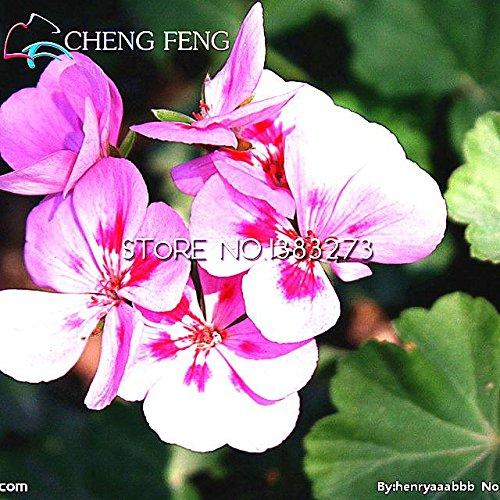 50pcs belle plante Bonsai Graines de fleurs rouge pourpre africaine Mini Blue Sky Violet Graines Rare Jardin Houseplants Seed Free Ship