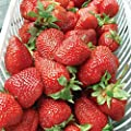 Burpee 'Albion' June-Bearing Strawberry Shipped as 25 Bare Root Plants