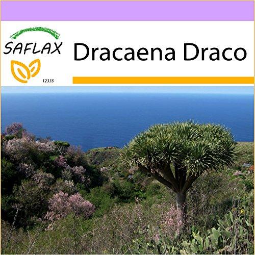 SAFLAX - Drachenbaum - 5 Samen - Dracaena Draco