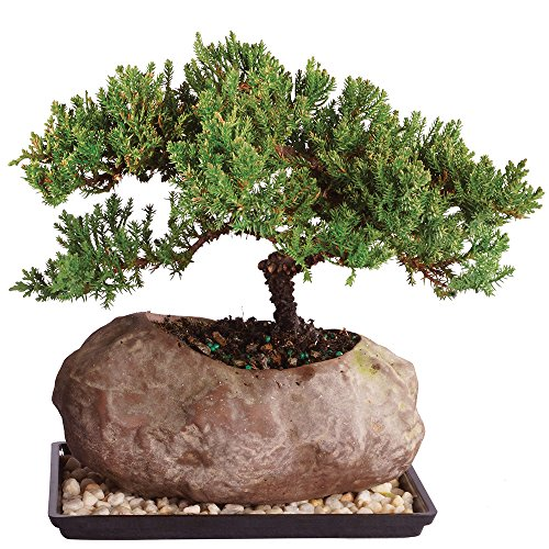 Brussel's Live Green Mound Juniper Outdoor Bonsai Tree in Rock Pot - 6 Years Old; 5' to 7' Tall with Humidity Tray & Deco Rock
