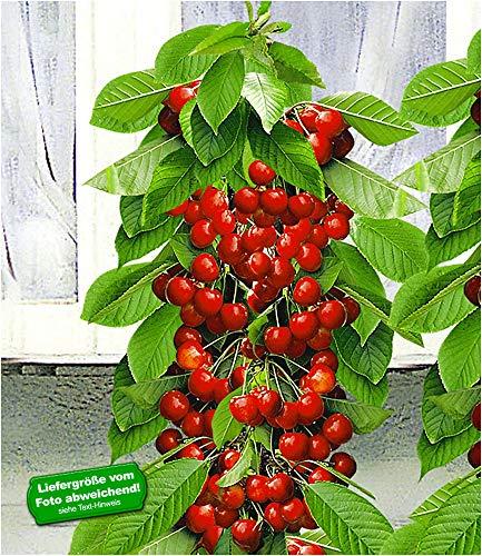 BALDUR-Garten Säulen-Süßkirschen 'Helena®', Kirschbaum 1 Pflanze