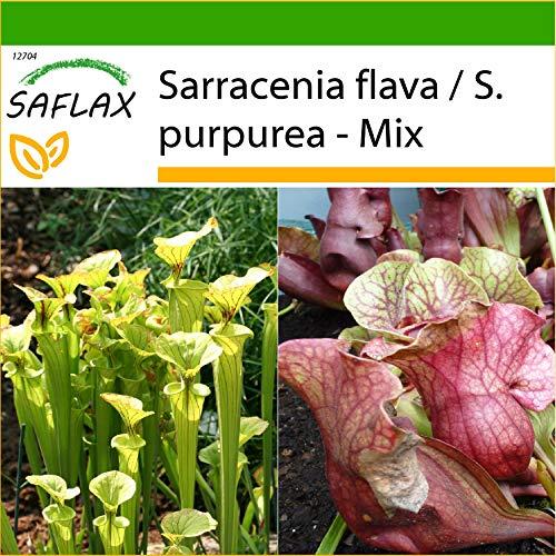 SAFLAX - Plantas trompeta - 10 semillas - Con sustrato estéril para cultivo - Sarracenia Mix
