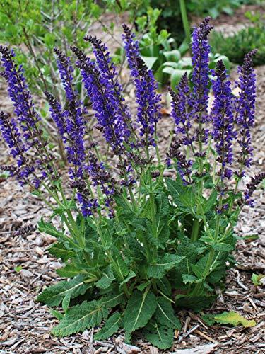 Perennial Farm Marketplace Salvia n. 'May Night' (Sage) Perennial, 1 Quart,...