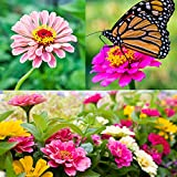 Zinnia Seeds for Planting Outdoors, Over 480 Seeds Giving You The Zinnia Flowers You Need, Zinnia Elegans, 4.2 Grams, Non-GMO