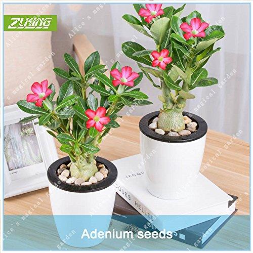 ZLKING 10pcs Unique Red Desert Rose Graines Bonsai Belle Adenium Mystère coloré Décoration vivaces Jardin des plantes