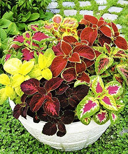 Seeds Indoor Coleus Bluma Mix Annual Flowers for Planting Non GMO