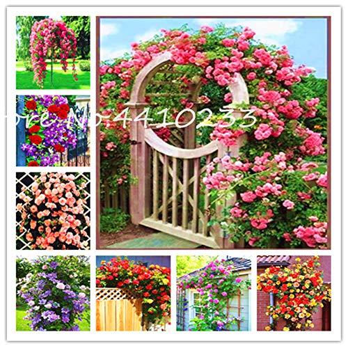 HONIC Vendita 50 Pz Thailandia Exotic Rosa rampicante Bonsai Fiore Beautyful Rare Multicolore Rosa dei Bonsai Si dirigono Il Giardino di Fiori rampicanti: Cioccolato