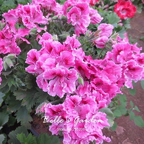 5pcs Couleurs multiples Variétés Géranium Graines Bonsai Pelargonium vivaces Graines de fleurs Hardy Patio Plante Plante en pot bricolage 10