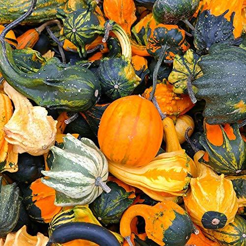 100 Dekokürbisse vers. Zier-Kürbisse ca. 4-12 cm - Kürbis-Deko vers. Farben | Kürbisse Herbst | Herbst-Deko | Halloweendeko | Dekoration