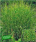 BALDUR Garten Chinaschilf Zebragras, 1 Pflanze Miscanthus zebrinus strictus Chinagras Ziergras
