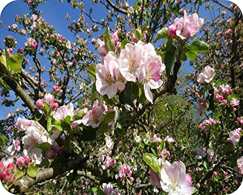 Blossom - Protector de cristal para encimera (50 x 40 cm), diseño de flor de manzana