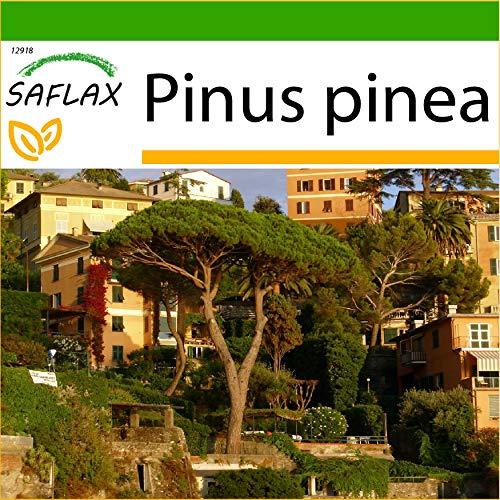 SAFLAX - Mittelmeer - Pinie - 6 Samen - Mit keimfreiem Anzuchtsubstrat - Pinus pinea