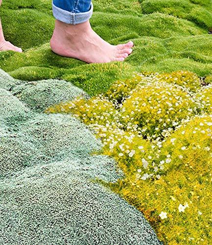 Ultrey Samenshop - 100 Stück Moos Samen Bodendecker immergrün Moose Rasen Moosgarten - grüne Pflanze, dekorative Gras für Garten, Bonsai Beet/Wiesen