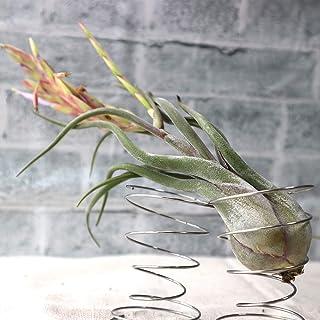 エアープランツ チランジア カプトメドゥーサ Lサイズ【幅約20cm×高さ約10cm Lサイズ/1個】T.caput-medusae 品種で選べるエアプランツ!初心者にも育てやすく、リビングやオフィスのインテリアに!【造花ではありません。生きて...
