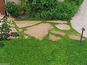 600 Herniaria Glabra Seeds - Green Carpet- Ground-cover,grow in Poor Soil and Gravel by wbut2023
