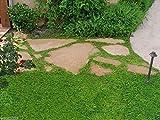 600 Herniaria Glabra Seeds – Alfombra verde – Cubierta de suelo, crece en suelo pobre y grava por wbut2023