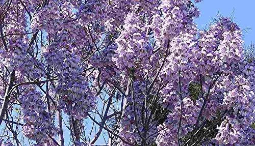 Asklepios-seeds® - 10000 Semillas de Paulownia tomentosa Paulonia imperial, Paulownia imperial, Kiri