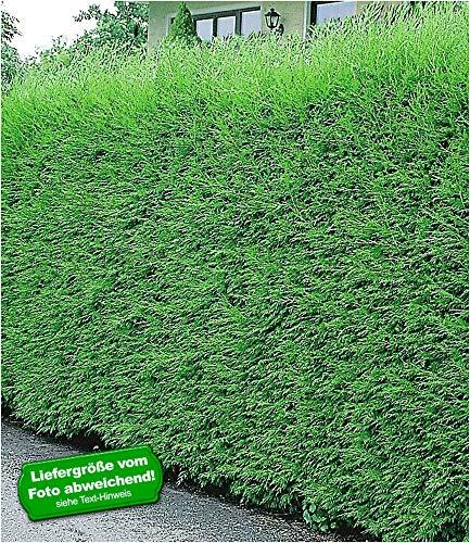 BALDUR-Garten Leyland-Zypressen-Hecke 5 Pflanzen Cupressocyparis leylandii