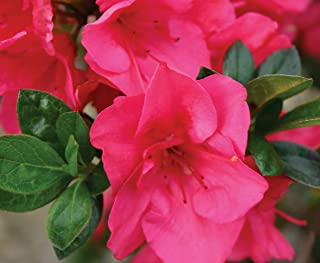 Hot Pink Bloom-A-Thon Everblooming Azalea - 4