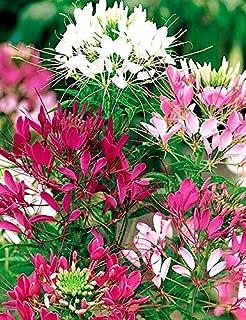 Luake 25pcs Cleome Spider Mixture (Cleome hassleriana) Flower Seeds