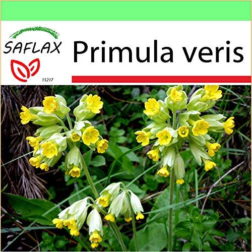 Staudenkulturen Wauschkuhn Primula veris Staude im 9cm Topf Schl/üsselblume