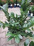 Prunus laurocerasus van Nes - Kirschlorbeer van Nes - Lorbeerkirsche -