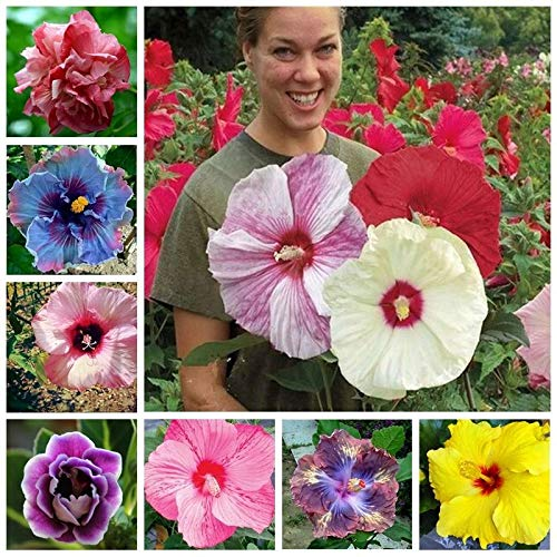 100+ Pcs Mixed Hibiscus Seeds Giant Flowers Perennial Flower - Ships from Iowa,...