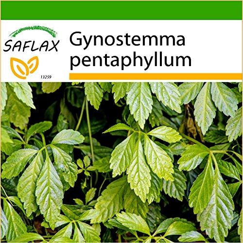 SAFLAX - Pflanze der Unsterblichkeit - 30 Samen - Mit keimfreiem Anzuchtsubstrat - Gynostemma pentaphyllum