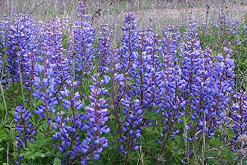 50 K seeds, or 20 LB - Sweet Blue Lupine Seeds - Beautiful Wildflower Violet Easy