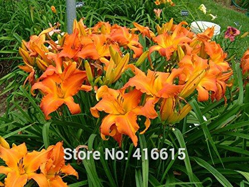 Taglilie Taglilie Samen Hemerocallis Primal Scream Seeds Hemerocallis Taglilie orange Blumensamen Bodendecker Pflanzen