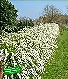 BALDUR-Garten Weiße Rispen-Spiere Hecke 'Grefsheim'