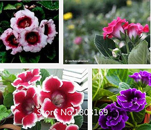 2016 100pcs / sac, graines Gloxinia, graines de fleurs, variété complète Graines Bonsai pot Sinningia usine Speciosa Benth shippin GRATUIT