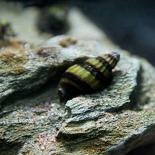 (貝)スネールキラースネール(約2cm)<3匹>[生体]