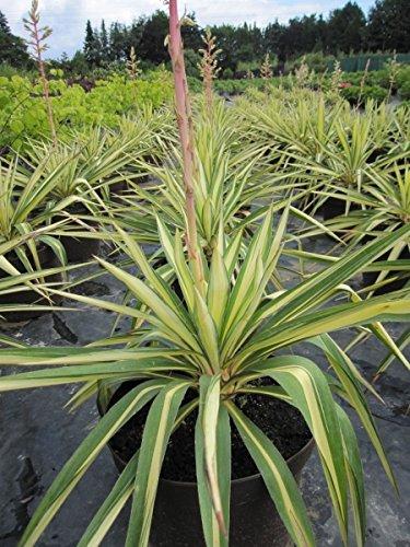 Yucca flaccida Golden Sword - Garten-Palmlilie Golden Sword