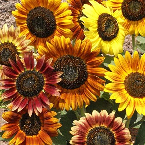 Semi di girasole, 500 pezzi naturali bellissimi semi di girasole misti per piantare semi di fiori per giardino