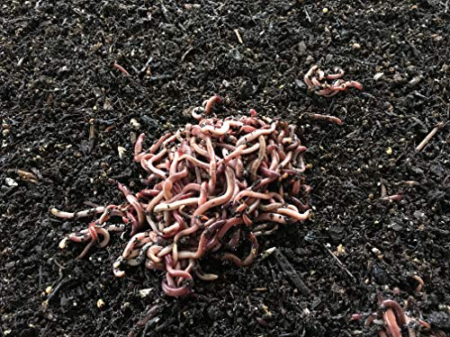 Purchase Worms 1/8 Pound Red Wiggler