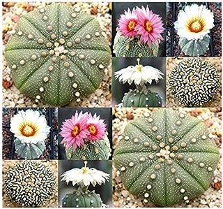 Risalana Astrophytum Asterias - Sand Dollar Cactus, Sea Urchin Cactus - Fresh Seeds (250 Seeds)
