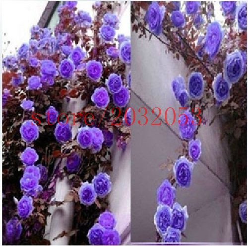 50 pièces / sac Lemon Tree Graines Bonsai citron Graines Graines Bonsai Jardin Décoration Fleur