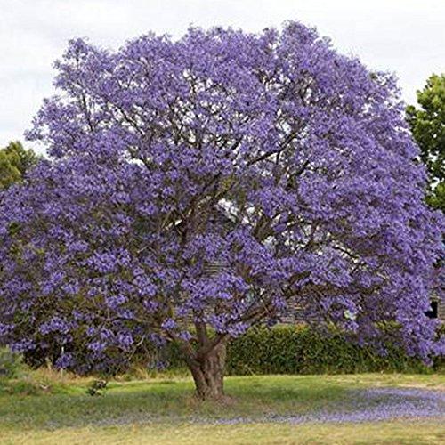 Rosepoem Blauer Jacaranda-Baum Jacaranda Mimosifolia Atemberaubende Baum-Bonsai - 1200St
