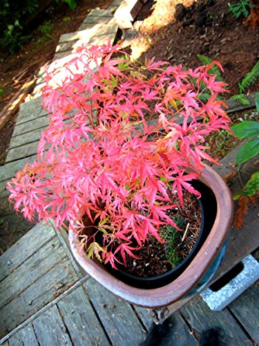 Dwarf Kamagata Japanese Maple 2 - Year Live Tree